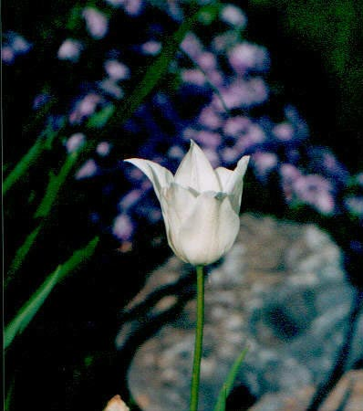 A white tulip suspended on a slender stalk.