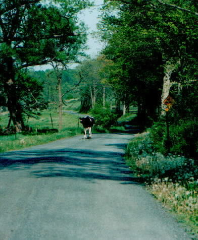 cow heads toward photographer
