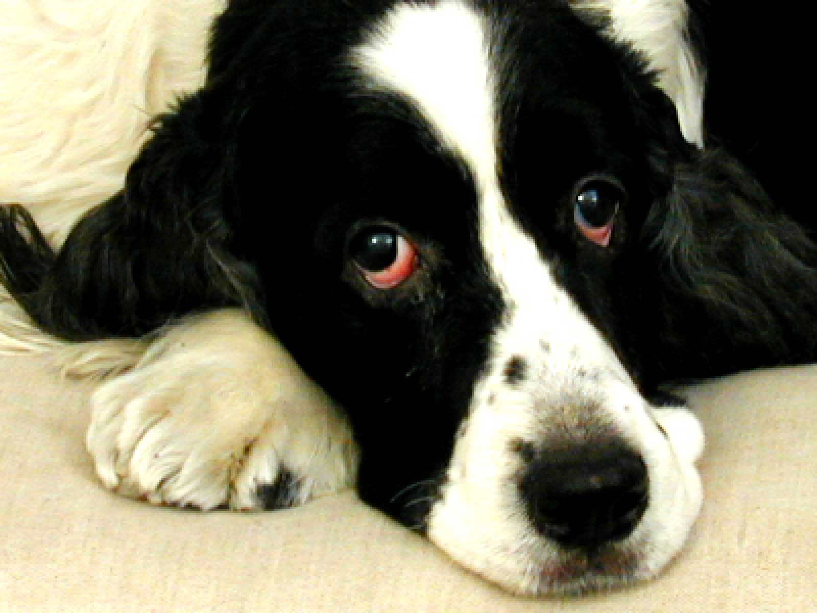 Saint Toby, English Springer Spaniel rescued dog, using the internet
